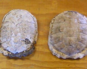 2 Snapping Turtle Shells without the Scutes