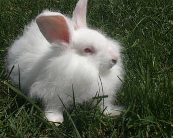 White German angora fiber