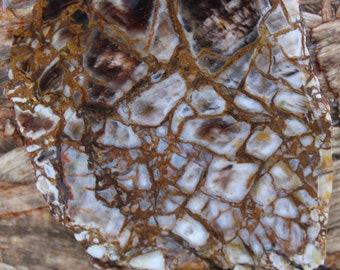 Texas Shrinkwood Petrified Wood Slab!
