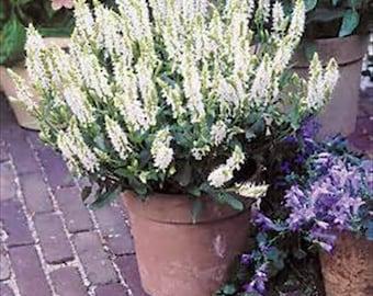 Salvia White Victory (Salvia Farinacea) * 25 Seeds