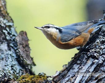 Red Breasted Nuthatch   Bird Photography   Northern Forest Songbird   Avian Wall Art   Home Office Restaurant Nature Decor   Nuthatch Print