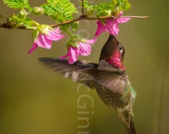 Anna's Hummingbird at a Salmonberry (Matte)