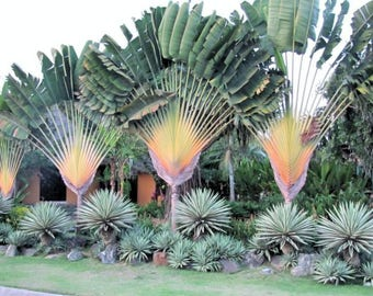 Ravenala ambanja Orange Travelers Palm 10 seeds