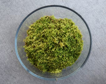 Live Hypnum Moss (For Terrariums, Floral Crafts)