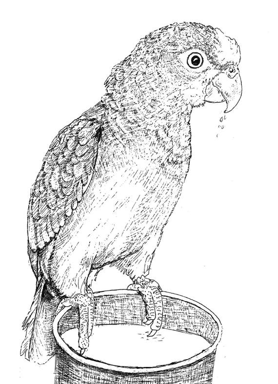 Sally Blanchard Original Pen and Ink Drawing of a Companion Panama Amazon Parrot on water bowl