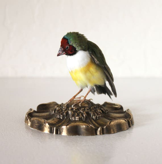 Taxidermy Bird Lady Gouldian Finch Colorful