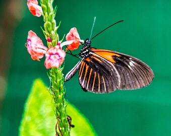 Butterfly - Photographic Print on Glossy Paper or Vibrant Metal - Contemporary Fine Art Photography