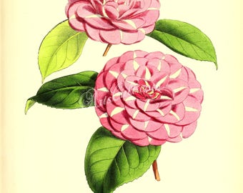 flowers-17483 - camellia madame de strekaloff camelia digital flowering botanical paper printable scan old plate vintage old image picture
