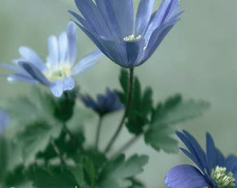 Floral Fine Art Print - Blue Anemone