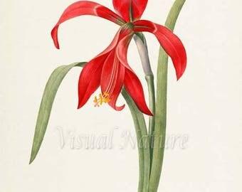 Amaryllis Flower Art Print, Amaryllis Botanical Art Print, Flower Wall Art, Flower Print, Floral Print, Redoute Art, red, green