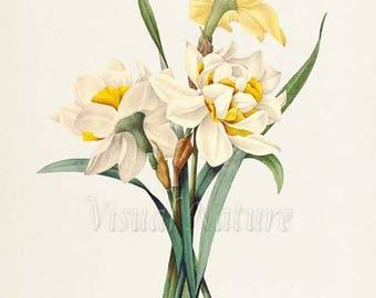 Double Daffodil Flower Art Print, Botanical Art Print, Flower Wall Art, Flower Print, Floral Print, Redoute, yellow, white, Narcissus gouani