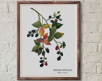 Jeżyna popielica, Rubus caesius, European dewberry - illustration - print 13x18cm