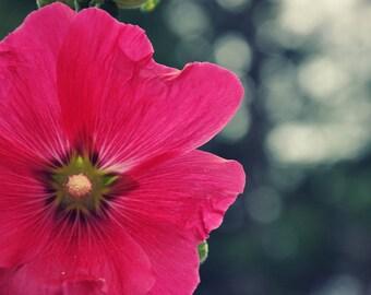 Hollyhock print- Hollyhock photograph-Pink Flower Photo-Cottage Garden Photograph- Color Photograph-Flower Photo-Pinck Hollyhock