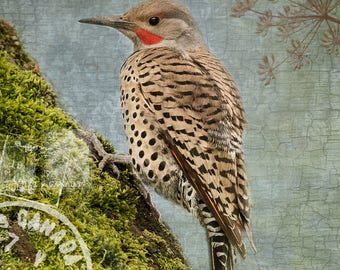 Lovely Northern Flicker on a Mossy Branch, Sky Blue Background with Urban and Forest Textures - Signed Fine Art Photograph