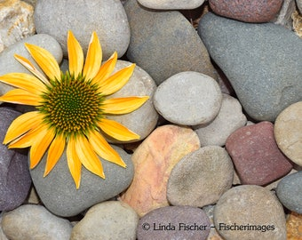 Yellow Daisy Flower On Colorful Rocks Nature Wall Art Home Decor Digital Download Fine Art Photography Linda Fischer Fischerimages