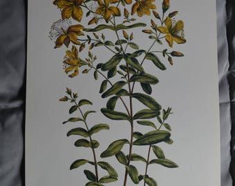 St. John's Wort Botanical Illustration Print
