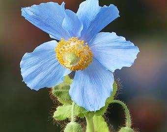 Blue Poppy  Photography, Wall Print, Botanical,  Blue Flower, Flower Photography, Garden Photography, Blue