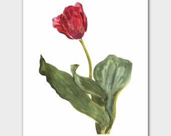 "Botanical Print (Spring Home Decor, Minimalist Loft Wall Art, Pink Flower Gift) --- ""Indus Triumph Tulip"""