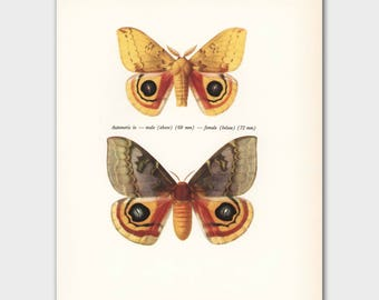 """Vintage Butterfly Print (His and Hers Gifts, Home Wall Decor, Male & Female Butterflies Art) --- """"Nocturnal Io Moths"""" No. 58-2"""