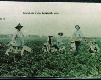 Antique Strawberry Field Longmont Colorado Unused Postcard