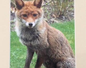 A Fox in my Garden