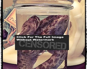 Rattle Snake in a jar Wet specimen