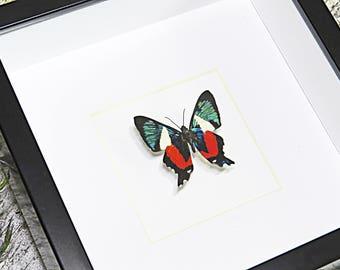 Real taxidermy framed moth Euchloron megaera