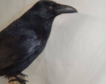 Taxidermy crow - Corvus corvus corrone, made to order