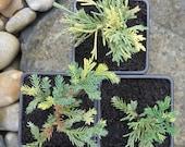 Picea Bicolor, Dwarf Alco...