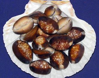 "Snakehead Cowry Cowrie Cypraea Shells ~1""~ Craft Seashells~Select 10/20/30 Pcs."