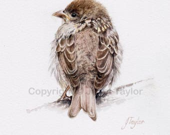 YOUNG SPARROW: Print of a watercolour painting by Jan Taylor. Baby bird.
