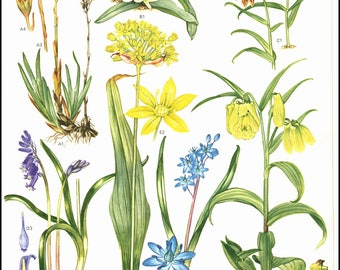 Plate 24 Europe Wild Flowers Painted by Barbara Everard. The page is approx. 9 inches wide and 12 inches tall.
