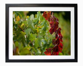 Autumn in Country Australia Photographic Print for Home Decorating Red wine leaves vineyard picture red and green vines home decor