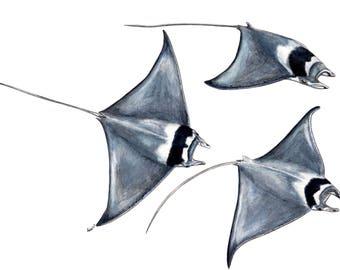 Devil fish Manta Ray (Mobula mobular)- Original watercolour painting