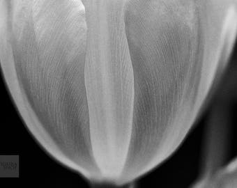 Tulip No. 3355 (5x7)