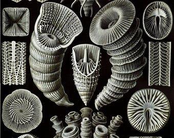 Hard Corals#3: vintage style Ernst Haeckel art science hanging print
