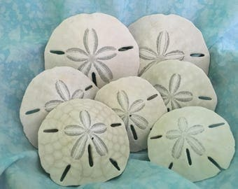 Sand Dollars, Florida Sand Dollars, Beach Sand Dollars, Craft Sand Dollars, Genuine Sand Dollars