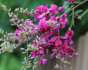 Lespedeza Bicolor 50-1500 Seeds Hardy Bush Clover Shrub Garden Landscape Flowers