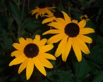 Black Eyed Susan 3 Live Plants
