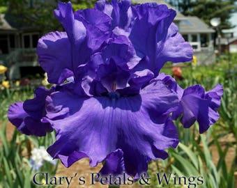 Change in the Weather - Tall Bearded Iris -  Schreiner 2013
