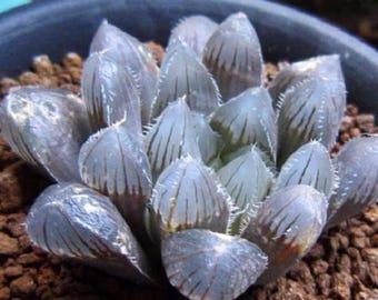 Haworthia obtusa Crystal Light Blue Transparent Succulent Bonsai Plants Seeds 5pcs Lovely Indoor Garden Home Bonsai