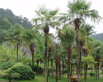 100 Trachycarpus Fortunai, hardy palm seeds by seeds chili Shop