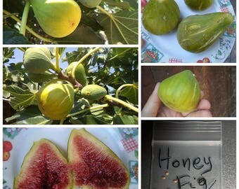 25X Greek Honey Fig Tree Seeds ~ Top Quality Seeds - GIANT Size (!!!) Must Try