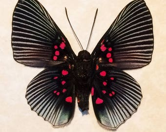 Real butterfly framed - Lyropteryx apollonia