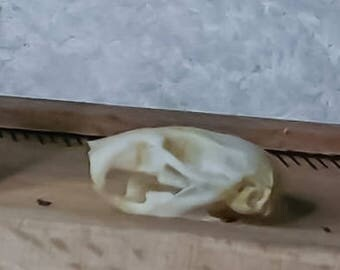 Mouse Hamster Rat Skull Cleaning