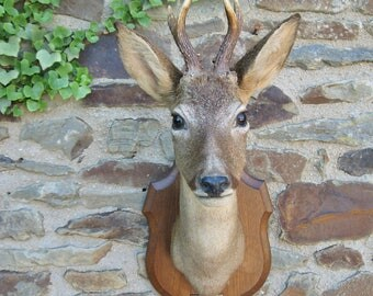 A Very Good French Taxidermy Hunting Trophy Male Deer Head With Antlers