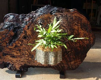 Large timber burl table planter with plant.