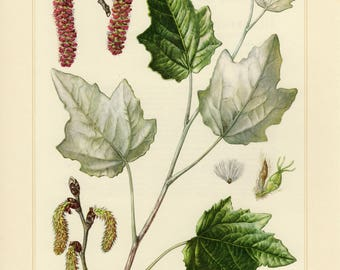 Vintage lithograph of the abele, white poplar, silver poplar or silverleaf poplar from 1958