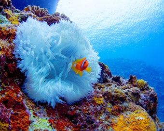 Underwater world Anemone fish Art Photo Digital Download 02