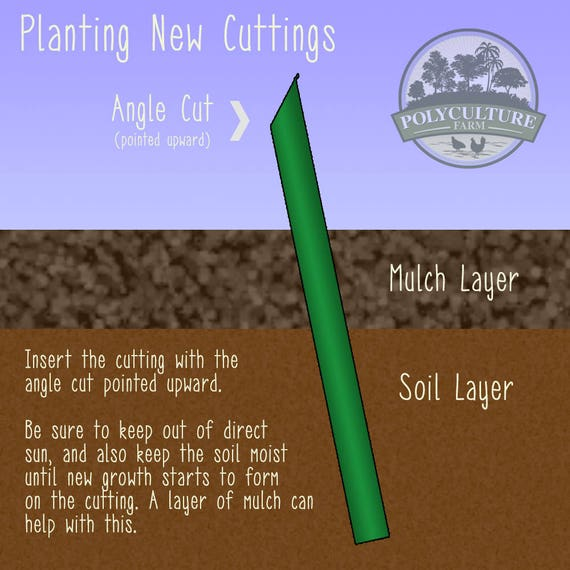 how to grow gynura procumbens